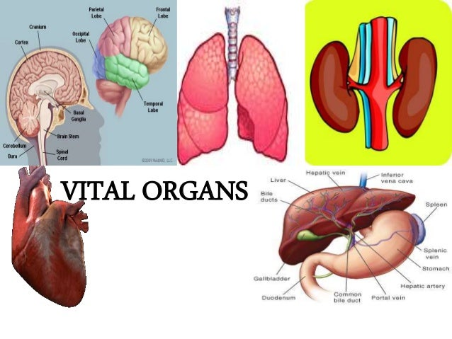 Anatomy of  kidneys Slide 2