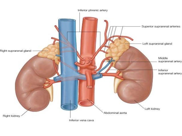 Abdominal Anatomy Kidney Awesome Websites Photo Gallery On Website ...