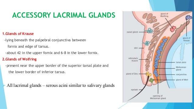 Anatomy of lacrimal gland