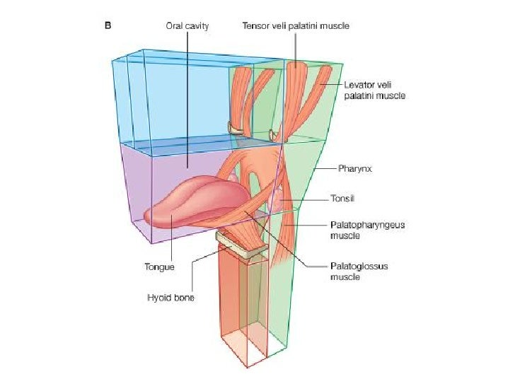 Diagram Of Laryngeal Muscles Illustration Of Wiring Diagram
