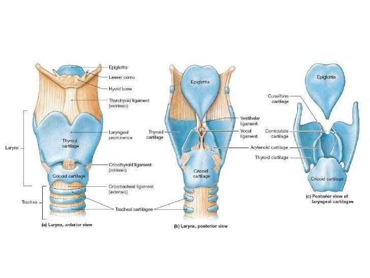 larynx anatomy - Juve.cenitdelacabrera.co