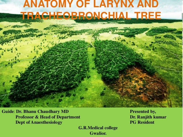 ANATOMY OF LARYNX AND        TRACHEOBRONCHIAL TREEGuide: Dr. Bhanu Chaudhary MD                            Presented by,  ...