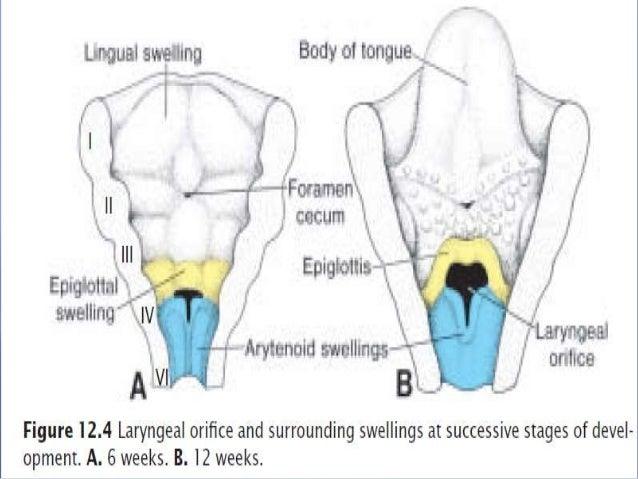 Larynx Diagram Class 8 Online Schematic Diagram