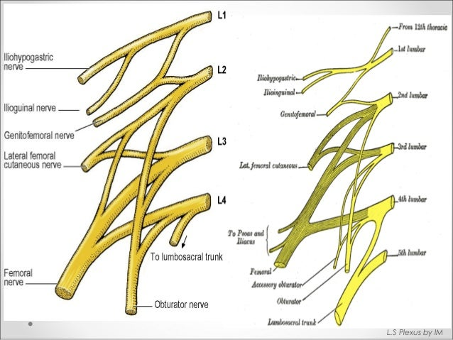anatomy of lumbosacral plexus (by murtaza syed), Muscles