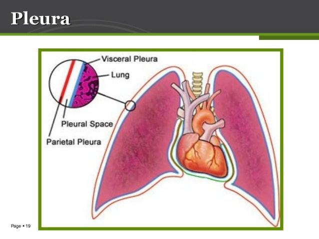 Anatomy Of Lung Pleura