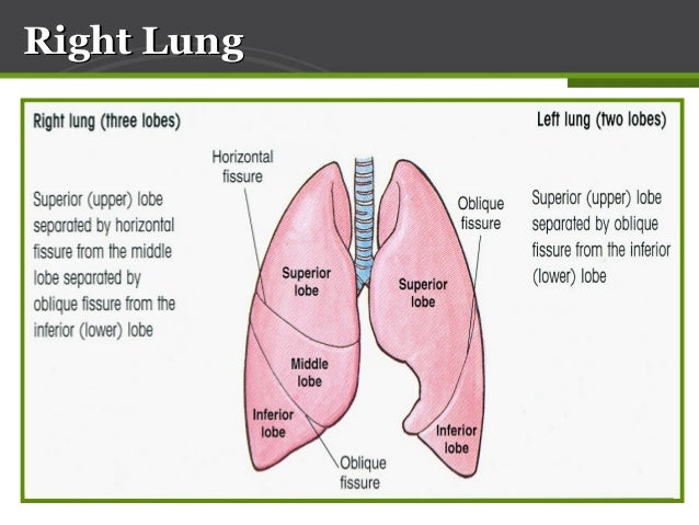 Anatomy Of Lung Pleura