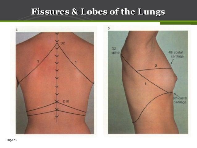 Anatomy of lung & pleura