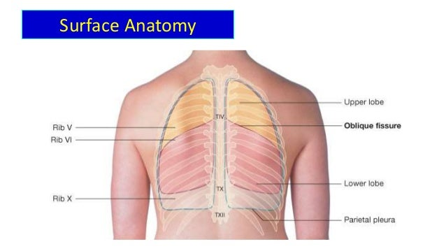 Anatomy of lungs, pleura and diaphragm