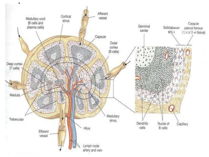 Anatomical Lymph Node Diagram - Residential Electrical Symbols •