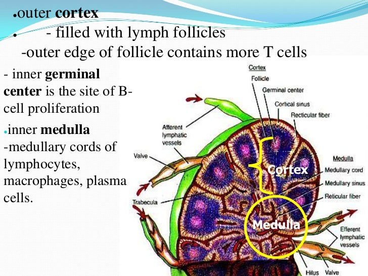 Anatomy of lymph node