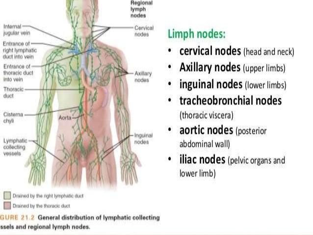 Anatomy Of Lymph Node By Hussein Ali Hussein