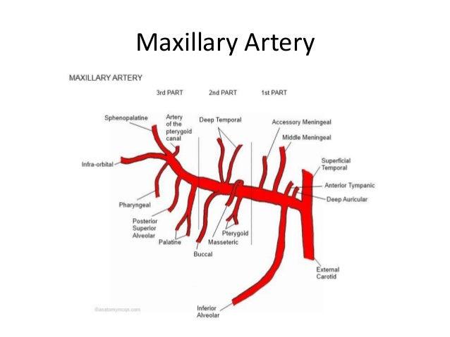 Maxillary Artery Diagram Horse Enthusiast Wiring Diagrams