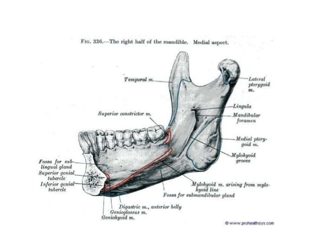 Anatomy of maxilla and mandible