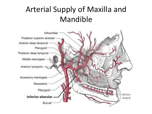 anatomy of maxilla and mandible, Human Body