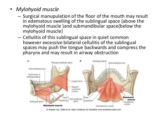 Mandible Anatomy - Cephalicvein