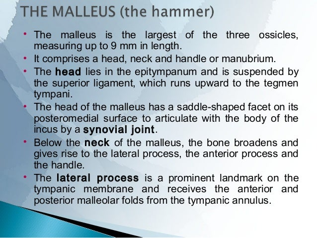 The tensor palati muscle arises from the bony wall and from along the whole length of the lateral cartilaginous lamina th...