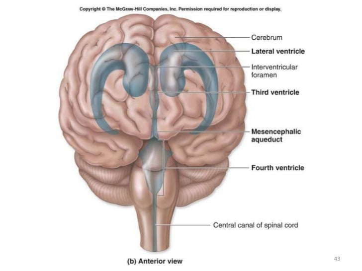 Anatomy Of Meninges Ventricles Cerebrospinal Fluid