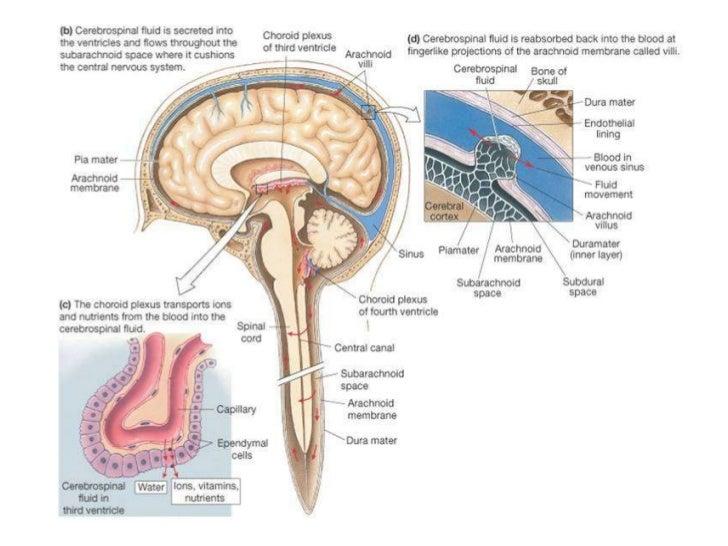 Brain Anatomy Diagram Of The Dura Matter Block And Schematic