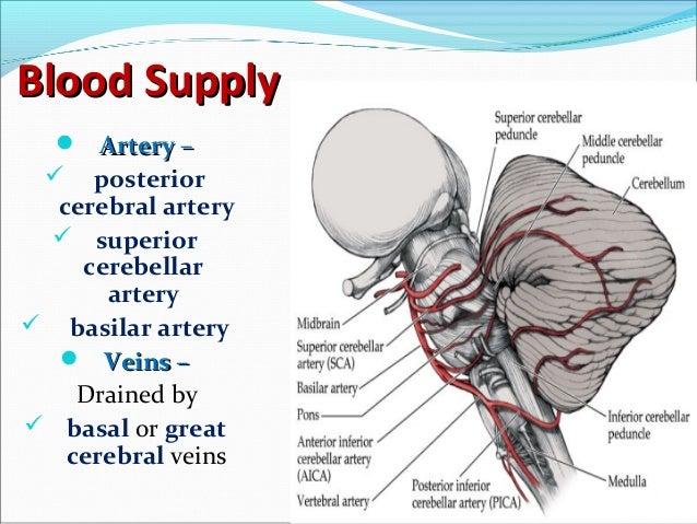 Anatomy Of Midbrain Pons