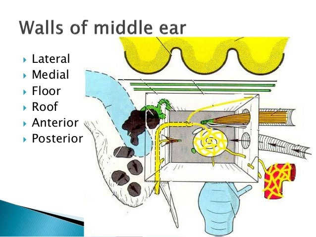 Anatomy of middle ear
