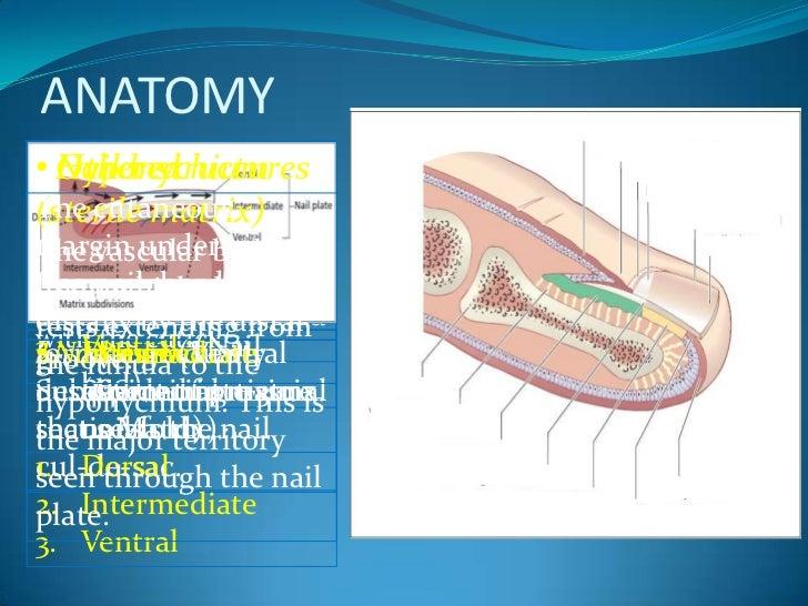 Anatomy Of Nail Master Slide Drnesh