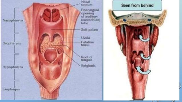 Anatomy Of Nasopharynx