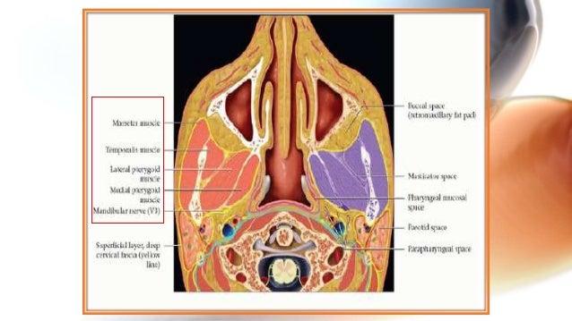 Anatomy of deep neck spaces