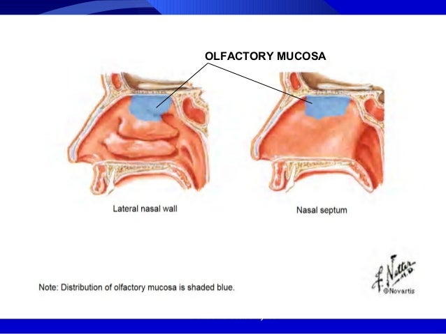 Anatomy of nose /certified fixed orthodontic courses by ...