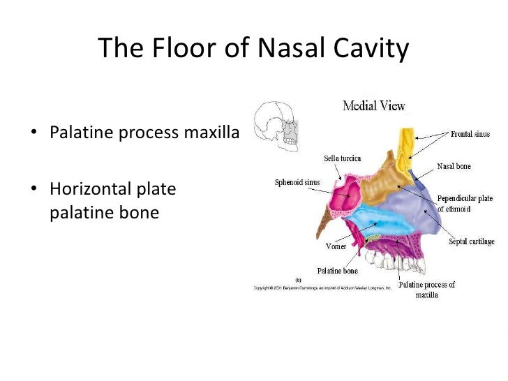 U003cbr /u003e; 10. The Floor Of Nasal Cavity ...
