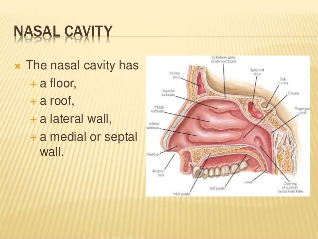 Anatomy of nose and paranasal sinuses for Floor of nasal cavity