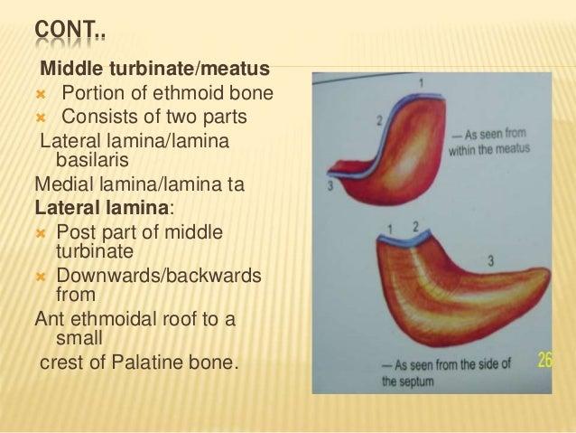 Awesome Middle Turbinate Anatomy Elaboration - Anatomy And ...
