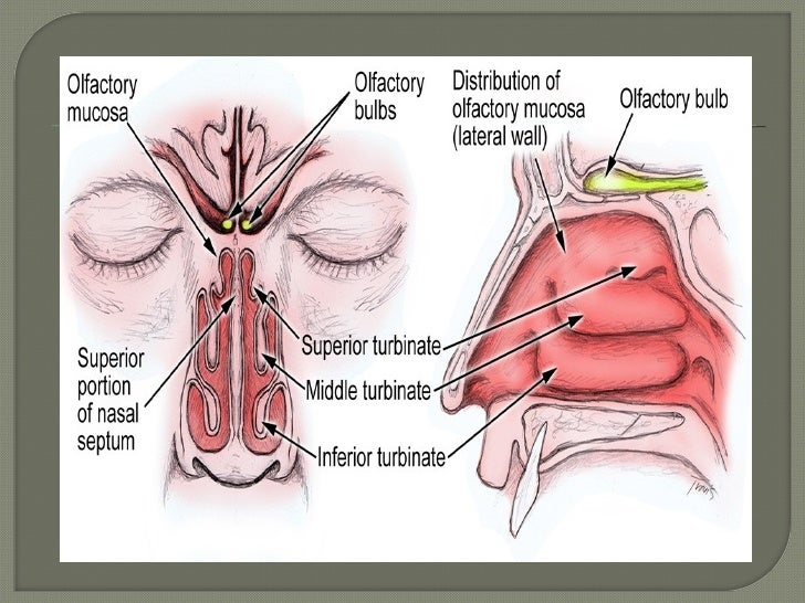 Anatomy of olfactory system