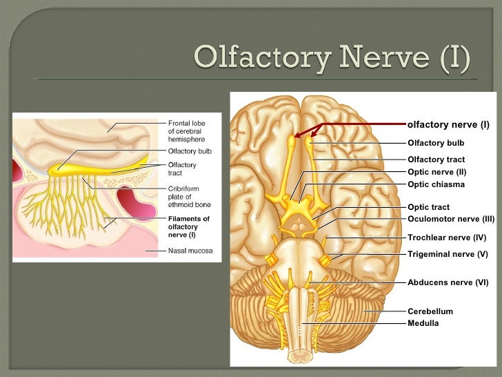 Anatomy of olfactory system