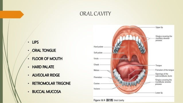 Anatomy of oral cavity and oropharynx