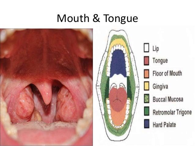 Oral Cavity Salivary Gland Anatomy Kathryn Boyce