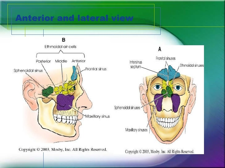Anatomy Of Paranasal Sinuses