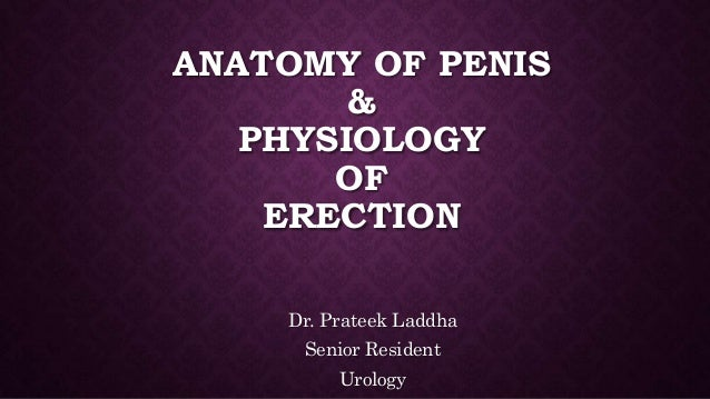 Anatomy Of Penis And Physiology Of Erection
