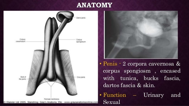 Anatomy of penis and physiology of erection Slide 2