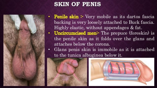 Anatomy of penis and physiology of erection Slide 3
