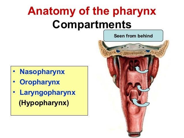 Anatomy of pharynx dr.bakshi - 04.07.16