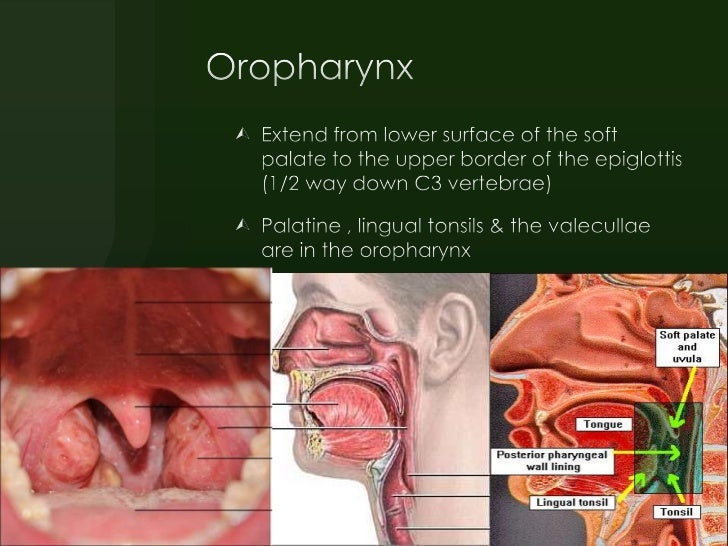 Entatomy Of Pharynx Neck Spacesdraid