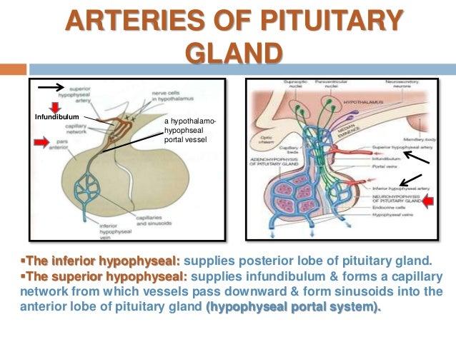 Anatomy of the pituitary gland