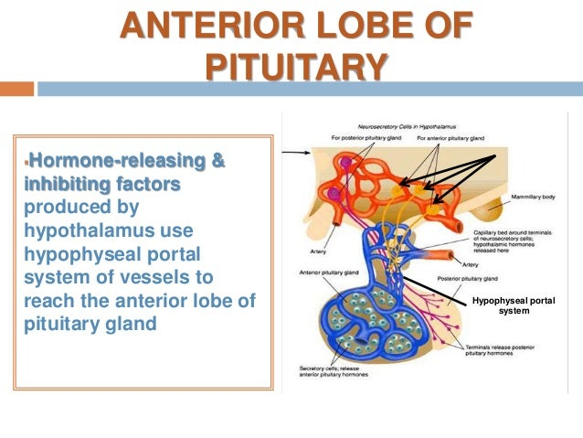 Anatomy of pituitary gland