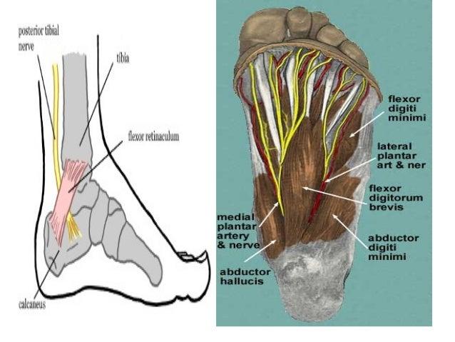 Anatomyofposteriortibialnervebyim 130629043516 Phpapp01