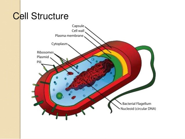 Prokaryotic cell anatomy