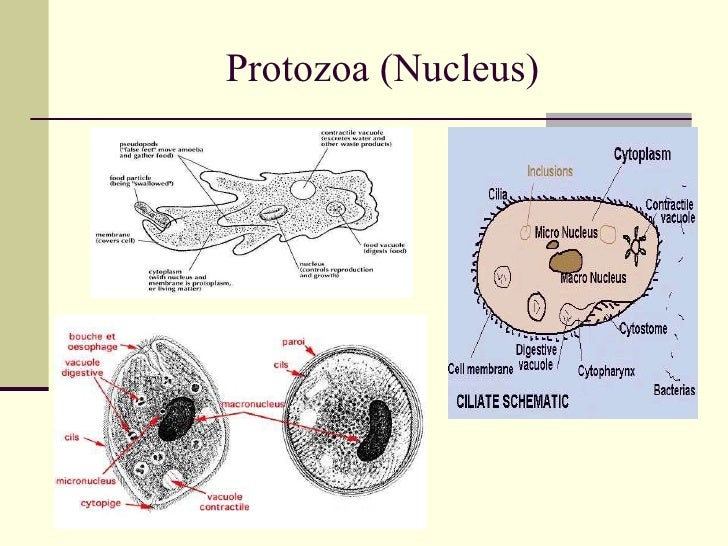 anatomy of protozoan cellProtozoa Cell Diagram Labeled #11