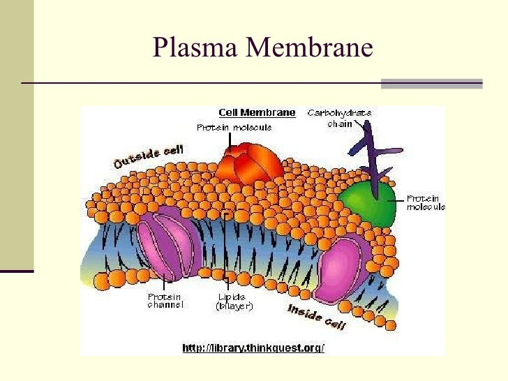 Anatomy Of Cell Membrane 8622057 Follow4morefo