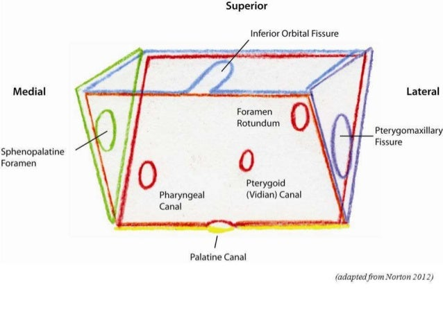 Anatomy of pterygopalatine fossa, infra temporal space Infratemporal Space