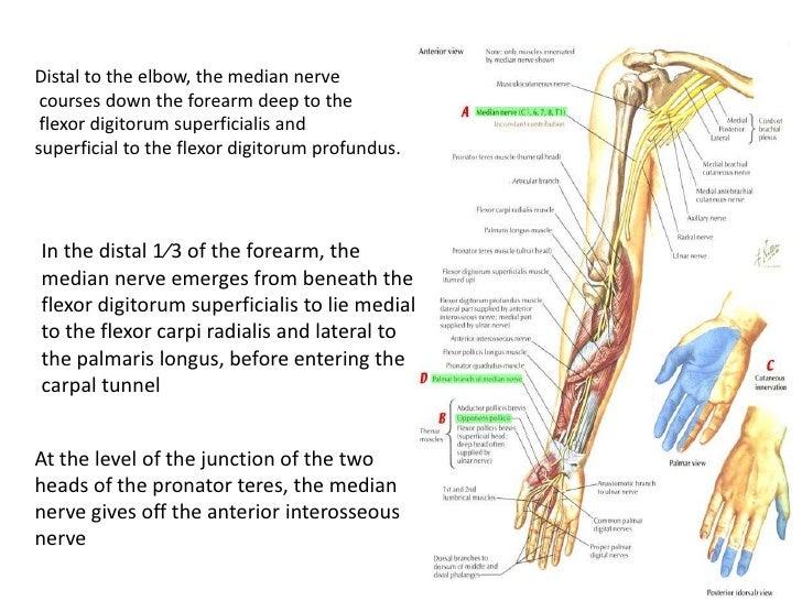 Anatomy of radial,median &ulnar nerve