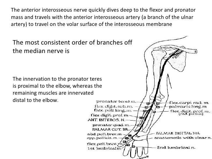 Anatomy Of Radialmedian Ulnar Nerve